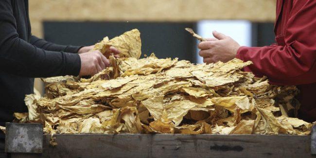 Conditionnement et livraison des feuilles de tabac