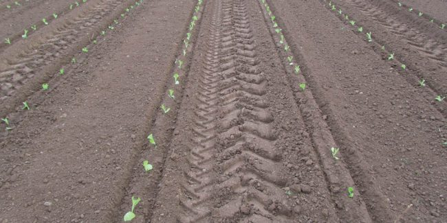 Plantation du tabac