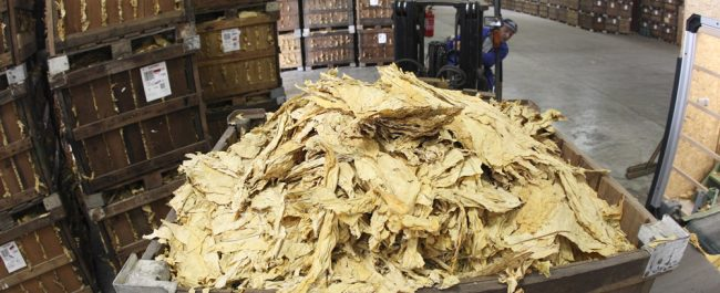 Le tabac, une production rémunératrice